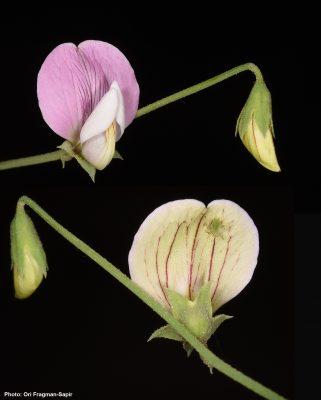 טופח קסיוס Lathyrus cassius Boiss.