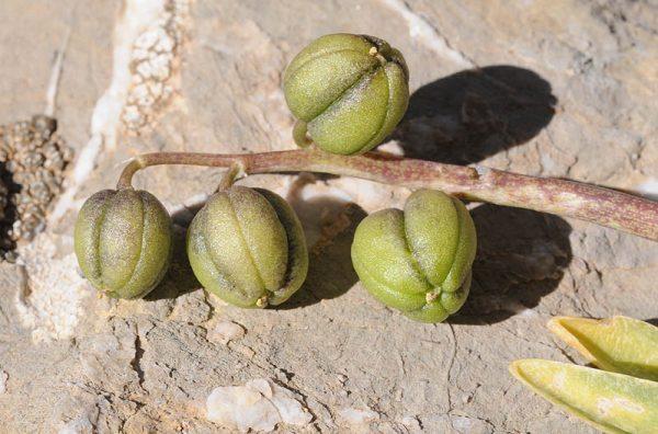 Hyacinthus orientalis L.