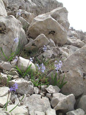 יקינתון מזרחי Hyacinthus orientalis L.