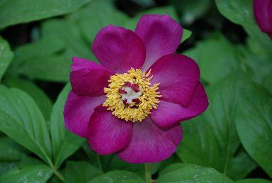 הפרח ענקי בעל 8-5 עלי כותרת בגוון אדום-ארגמן, הרבה אבקנים וכמה צלקות