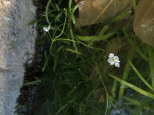 חצצון מרצעני Sagittaria subulata (L.) Buchenau