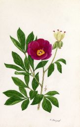 ענף עם עלים, פרח ופרי בן 4 מפוחיות. איור - ברכה אביגד ז