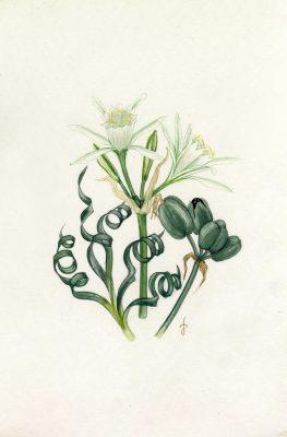 חבצלת הנגב Pancratium sickenbergeri Aschers. & Schweinf. ex C. & W. Barbey