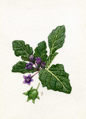 דודא רפואי Mandragora autumnalis Bertol.