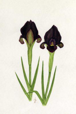 אירוס שחום Iris atrofusca Baker