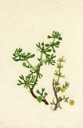 ענפים נושאי עלים,פרחים ופירות. איור - ברכה אביגד ז