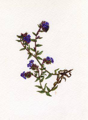 אלקנת הצבעים Alkanna tinctoria Tausch