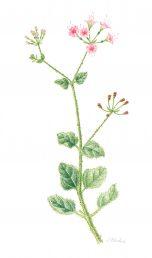 הפרחים ורודים בולטים, הצמח דביק-בלוטי