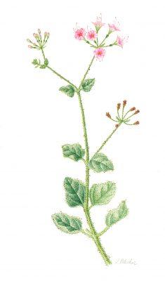 בלוטנית דביקה Commicarpus grandiflorus (A. Rich.) Standl.