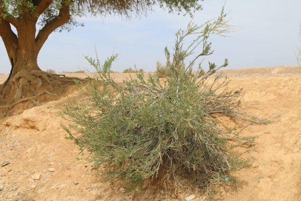 שקד ערבי Amygdalus arabica Oliv.