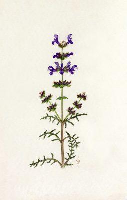 מרווה צמירה Salvia lanigera Poir.