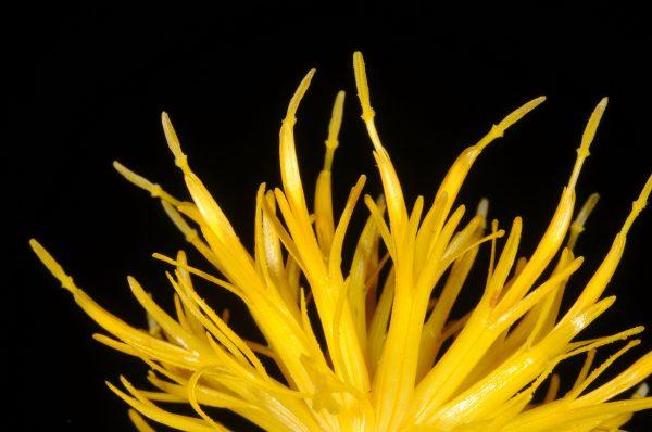 Centaurea behen L.