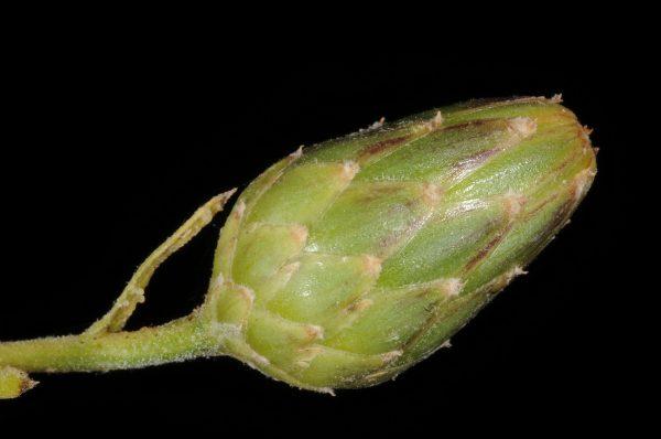 דרדר גלדני Centaurea behen L.