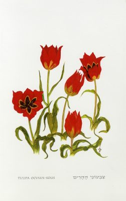צבעוני ההרים Tulipa agenensis DC.