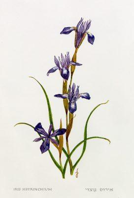 צהרון מצוי Moraea sisyrinchium (L.) Ker-Gawler
