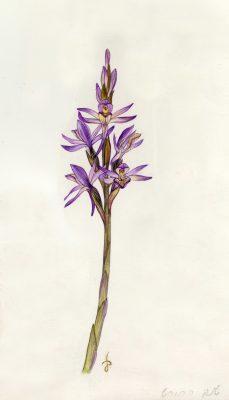 שנק החורש Limodorum abortivum (L.) Sw.