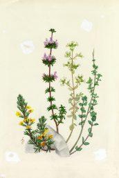 מראה כללי (הצמח השמאלי באיור). איור - ברכה אביגד ז