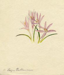 מראה כללי-הפריחה יחד עם העלים. איור - ברכה אביגד ז