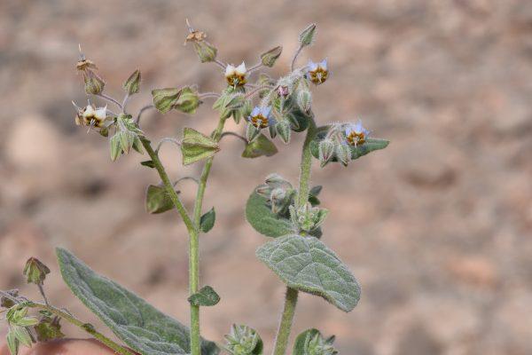 צמרורת אהרנברג Trichodesma ehrenbergii Boiss.