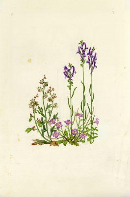 פשתנית ריסנית Linaria pelisseriana (L.) Mill.