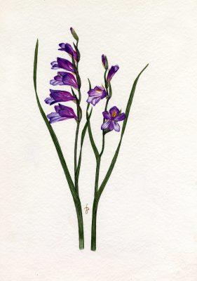 סייפן סגול Gladiolus atroviolaceus Boiss.