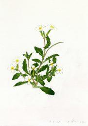 העלים משוננים בדרך כלל, התחתונים בעלי פטוטרת, העליונים חובקים את הגבעול. איור - ברכה אביגד ז