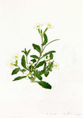 מלקולמייה חרוקה Malcolmia crenulata (DC.) Boiss.