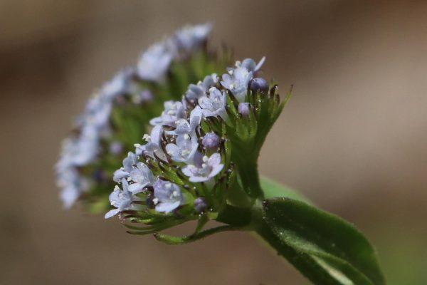 ולריינית מאוצבעת Valerianella dactylophylla Boiss. & Hohen.