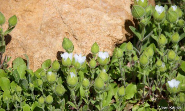 קרנונית נפוחה Cerastium inflatum Gran.