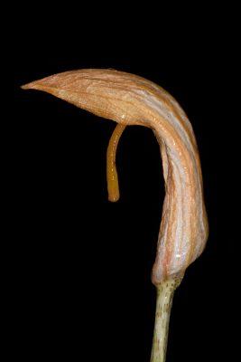 לופית מצויה Arisarum vulgare Targ.-Tozz.