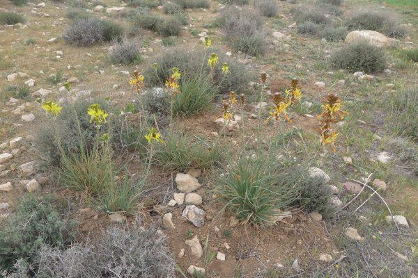 עיריוני צהוב Asphodeline lutea (L.) Rchb.