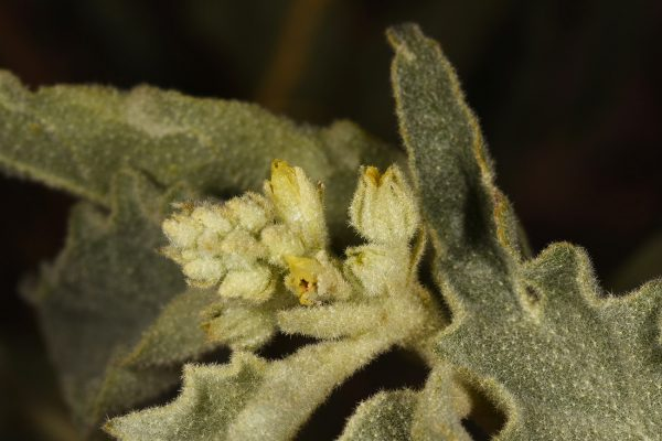 Chrozophora oblongifolia (Delile) A.Juss. ex Spreng.