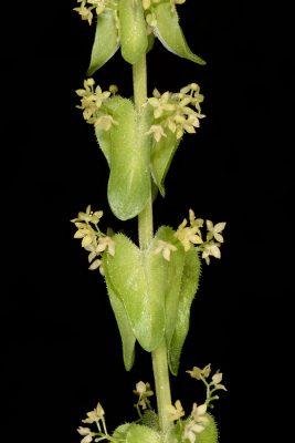 דבקנית הפרקים Cruciata articulata (L.) Ehrend.