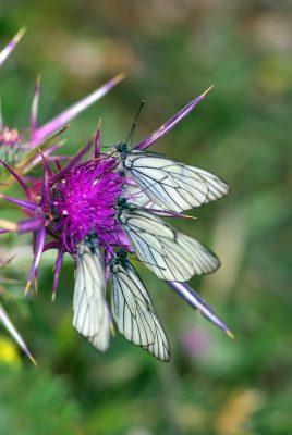 ברקן סורי Notobasis syriaca (L.) Cass.