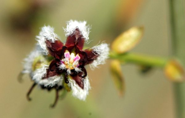 חלביב רותמי Periploca aphylla Decne.