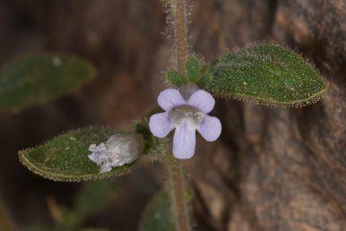 הצמח מאד בלוטי, הפרח תכול צינורי