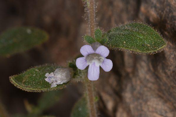 אנטיכריס בלוטי Anticharis glandulosa (Ehrenb. & Hempr.) Asch.