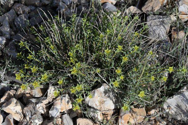 חלבלוב ענף Euphorbia macroclada Boiss.