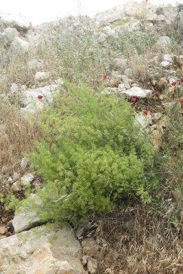 דבקת הלבנון Galium libanoticum Ehrend.