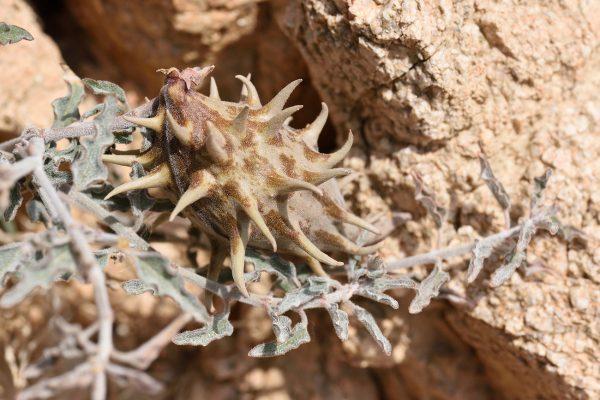 לשנן בובה Glossonema boveanum (Decne.) Decne.