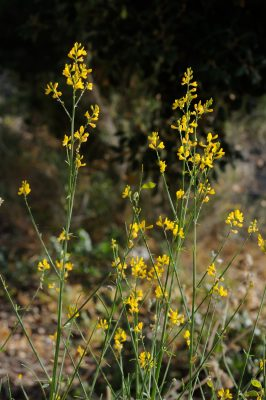 צלען הגליל Gonocytisus pterocladus (Boiss.) Spach
