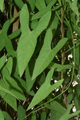 לפופית החיצים Ipomoea sagittata Poir.