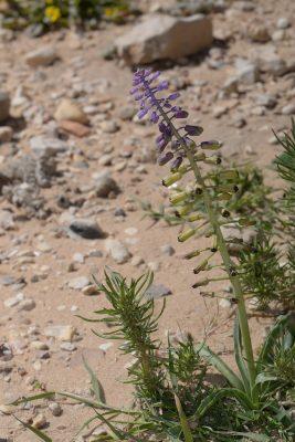 מצילות מדבריות Leopoldia deserticola (Rech.f.) Feinbrun
