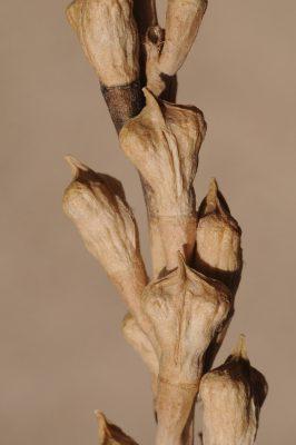 מיאגרון אוזני Myagrum perfoliatum L.