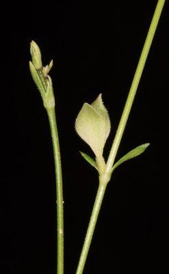 Pterogaillonia calycoptera (Decne.) Lincz.