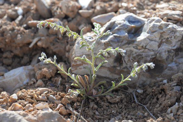 רושליה דו-זרעית Rochelia disperma (L.f.) K.Koch