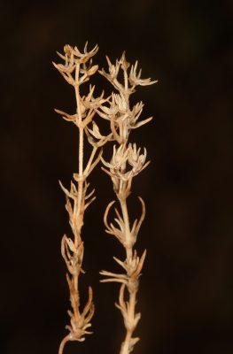 Scleranthus orientalis Roessler