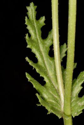 סביון אביבי Senecio leucanthemifolius subsp. vernalis Poir.