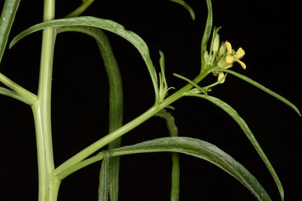 תודרה מזרחית Sisymbrium orientale L.