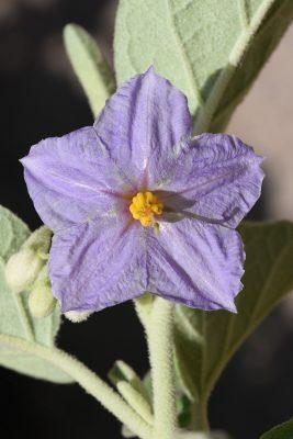 סולנום החדק Solanum incanum L.
